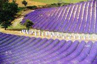 lavendel2 seedo pixelio.de  - Heilkräuter gegen Wetterfühligkeit