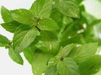 pfefferminze.de  - Heilpflanzen gegen Kopfschmerzen