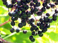 hollunder knipseline pixelio.de  - Mit einer Vitaminbombe in den Herbst - der Holunder
