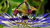 passionsblume - Passisonsblume, der Helfer gegen Burnout