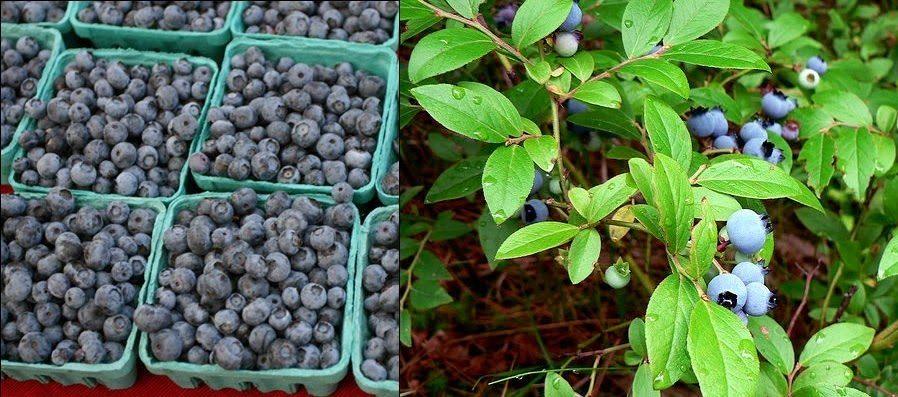 blueberrymix - Mit Blaubeeren gegen das Alter und den Cholesterin