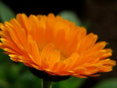 2563781741 022a70b2b9 z - Die Ringelblumensalbe - Heilmittel für den Alltag