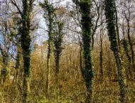 Efeu, die kletternde Heilpflanze