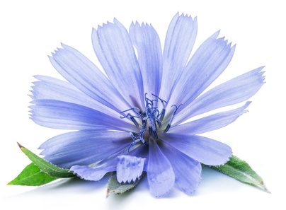 Cichorium intybus – common chicory flowers isolated on the white background.