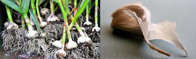 garlic3 - Mit Knoblauch nicht nur Vampire vertreiben