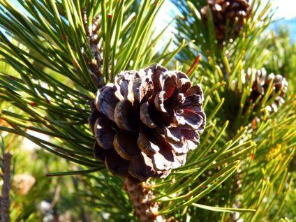 mountain pine 4756 640 e1519640779587 - Selbstgemachte Latschenkiefernsalbe gegen Gliederschmerzen