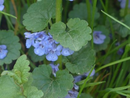 ground ivy 116264 640 e1522318123884 - Essbare Wildkräuter im Frühling