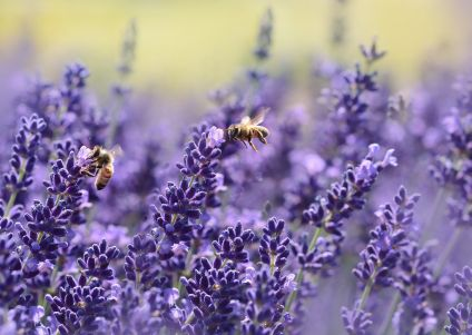 lavender 1537694 klein 1 - Himmlisches Badesalz selber machen