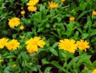 Die Ringelblume, einer der besten Heilpflanzen
