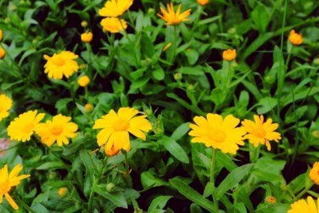 IMG 0851 kl e1529232134279 - Die Ringelblume, einer der besten Heilpflanzen