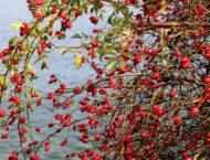 Hagebutten – Vitaminbombe im Herbst und Heilkraut