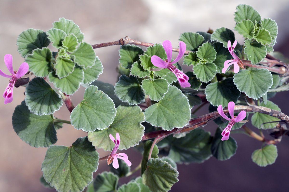 Kapland-Pelargonie