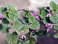 Kapland-Pelargonie – Heilpflanze gegen Bronchitis und Schnupfen