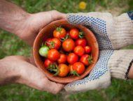Tomaten und ihre Wirkung auf unsere Gesundheit