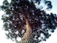 Die Zirbe – heiliger Baum im Alpenraum