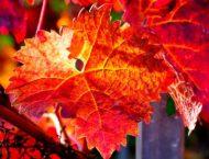 Heilen mit rotem Weinlaub