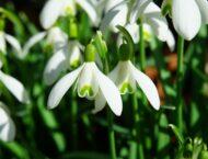 Die ersten Schneeglöckchen sind da – Heilwirkung des Frühlingsboten