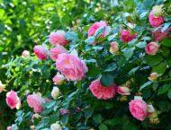 Rosen – Kosmetik und Heilanwendungen