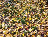 Laub im Herbst – goldgelbe, rote Pracht