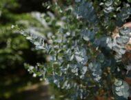 Eukalyptus – Heilwirkung und Rezepte